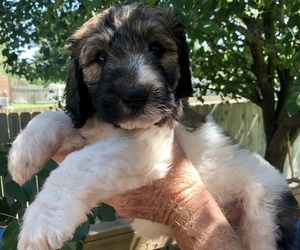 Pyredoodle Puppy for Sale in GEORGETOWN, Texas USA