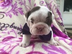 Bulldog Puppy For Sale in EAST EARL, PA,