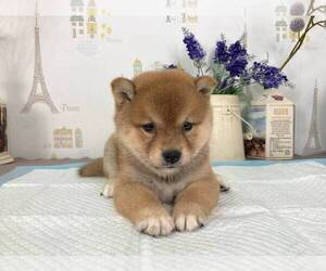 Shiba Inu Puppy for sale in SUNNYVALE, CA, USA