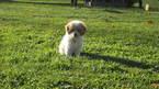 Puppy 1 Cockapoo