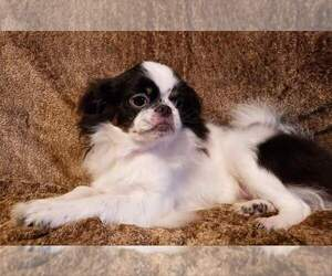 Japanese Chin Dog for Adoption in LYNCHBURG, Virginia USA