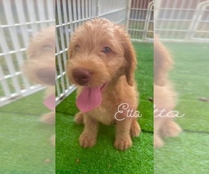 Double Doodle Puppy for sale in DIXON, IL, USA