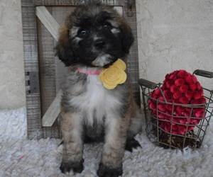 Saint Berdoodle Puppy for sale in HONEY BROOK, PA, USA