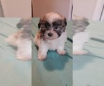 Small #17 Morkie