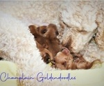 Puppy 11 Goldendoodle