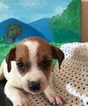 Jack Russell Terrier Puppy For Sale in CHARITON, IA,