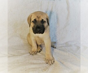 Mastiff Puppy for Sale in HAVILAND, Ohio USA