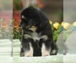 Puppy 1 Tibetan Mastiff