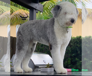 Father of the Old English Sheepdog puppies born on 06/28/2021