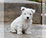 Puppy 4 West Highland White Terrier