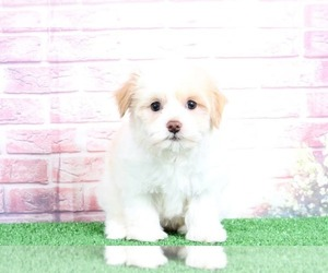 Havanese Dog for Adoption in BEL AIR, Maryland USA