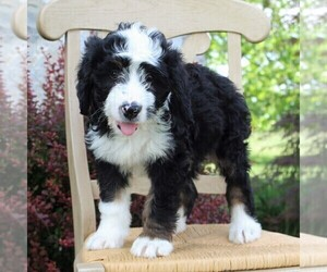 Bernedoodle Puppy For Sale in MERCERSBURG, PA, USA