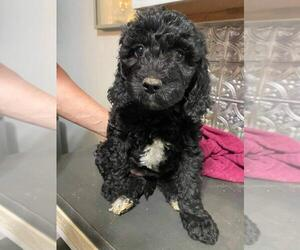 Aussiedoodle-Goldendoodle Mix Puppy for sale in ORANGE, VA, USA