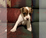 Puppy 1 Jack Russell Terrier