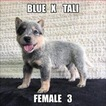 Australian Cattle Dog Puppy For Sale in JEFFERSON, SC, USA