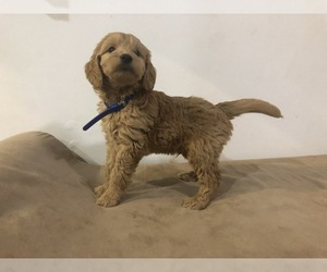 Goldendoodle (Miniature) Puppy for sale in RALEIGH, NC, USA