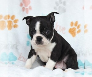 Boston Terrier Dog for Adoption in GORDONVILLE, Pennsylvania USA