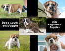 Olde English Bulldogge Puppy For Sale in IOWA, LA, USA
