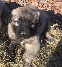 Anatolian Shepherd Puppy for sale in WOODFORD, VA, USA
