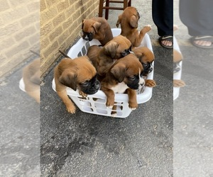 Boxer Puppy for sale in OAK LAWN, IL, USA