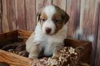 Miniature Australian Shepherd Puppy For Sale in BYRON, NY