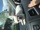 Sophy mini french bulldog