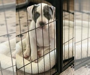 American Bully Puppy for sale in EVERETT, WA, USA