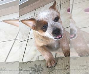 Australian Cattle Dog Puppy for sale in LAKELAND, FL, USA