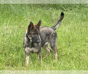 German Shepherd Dog Puppy for sale in PLANT CITY, FL, USA