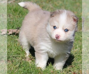 Pomsky Puppy for sale in JUNCTION CITY, OH, USA