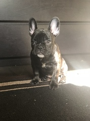 French Bulldog Puppy for sale in LONG BEACH, CA, USA