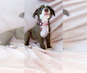 American Pit Bull Terrier Puppy for sale in NAPLES, FL, USA