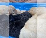 Small Photo #8 Labrador Retriever Puppy For Sale in ARLINGTON, VA, USA