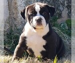 Puppy 3 Olde English Bulldogge