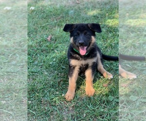 German Shepherd Dog Puppy for sale in HOMESTEAD, PA, USA