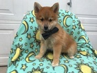 Pomeranian-Siberian Husky Mix Puppy For Sale in EPHRATA, PA, USA