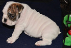 Bulldog Puppy For Sale in HOUSTON, TX