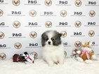 Pomeranian Puppy For Sale in TEMPLE CITY, California,