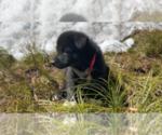 Puppy 3 Karelian Bear Dog