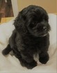 Havanese Puppy For Sale in THOMASVILLE, GA, USA