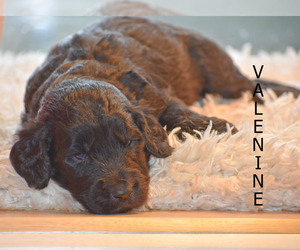 Goldendoodle Puppy for Sale in FLORA, Illinois USA