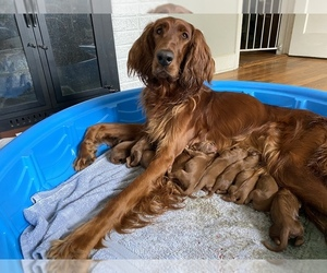 Irish Setter Puppy for Sale in AUGUSTA, Georgia USA