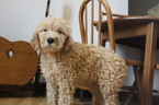 Goldendoodle Puppy For Sale in BRADFORD, OH, USA