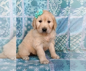 English Cream Golden Retriever Puppy for sale in PEACH BOTTOM, PA, USA