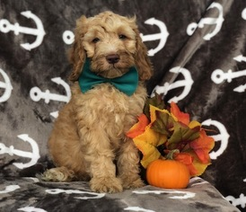 View Ad: Cock-A-Poo-Poodle (Miniature) Mix Puppy for Sale