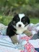Miniature Australian Shepherd Puppy For Sale in NEW BRAUNFELS, TX, USA
