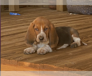Basset Hound Puppy for sale in NESHOBA, MS, USA