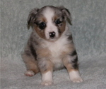 Puppy 4 Miniature American Shepherd