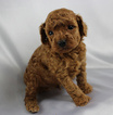 Poodle (Toy) Puppy For Sale in CANTRIL, IA, USA