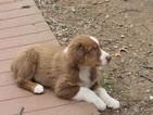 Australian Shepherd Puppy For Sale in SALINA, OK, USA